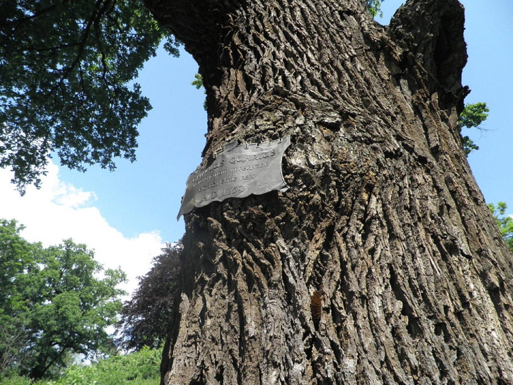 Самое старинное пражское дерево 2