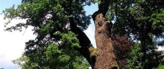 Самое старинное пражское дерево